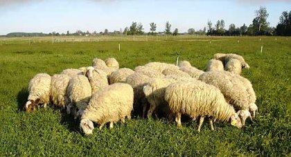 Leche de oveja más saludable gracias a la soja