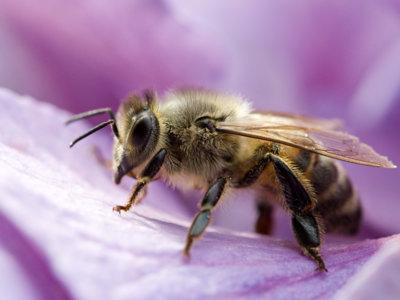 ¿Cuál es la probabilidad de que te mueras si te pica una abeja?