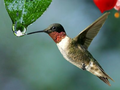 El colibrí podría enseñarnos algo importante sobre la obesidad humana