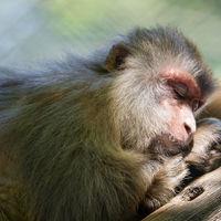 Los macacos tienen la capacidad anatómica para hablar, pero no la neural... afortunadamente
