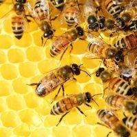 Crean la primera vacuna para las abejas