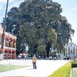 Éste es el árbol con el diámetro del tronco más grande y necesita un buen puñado de personas para rodearse por completo