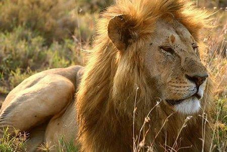 Singularidades extraordinarias de animales ordinarios (XXXII): el león