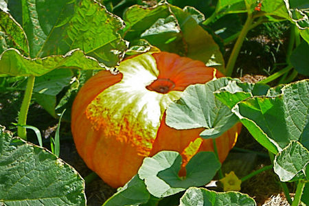 Originales variedades de calabaza para nuestras recetas de otoño