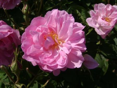 Rosa de Grasse