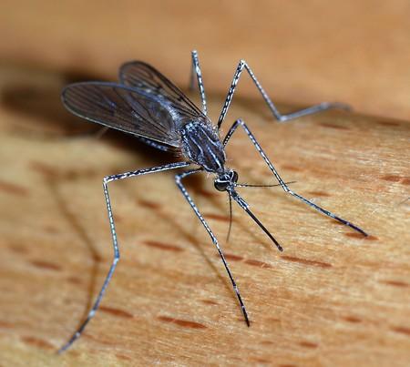 Mosquito 2007 2