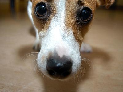 ¿Por qué los perros son los mamíferos más diversos de la Tierra?