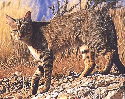 El gato doméstico procede de Oriente Próximo