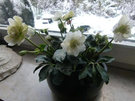 Christmas Flowerscimg3327