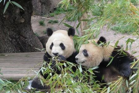 Zoo Aquarium de Madrid despide a sus crías de panda gigante con un gran acto oficial