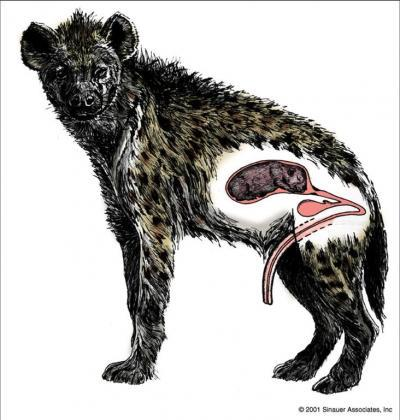 Los genitales de la hiena: ¿es todo adaptación?