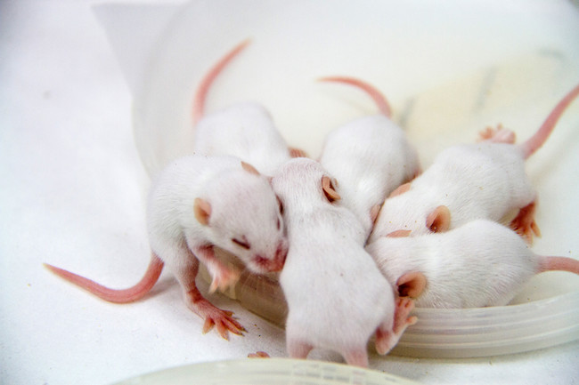 White Baby Mice Bunched Together 800