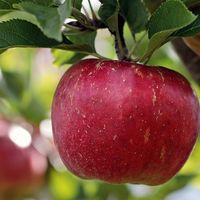 Las manzanas son cada vez más dulces y hace pocos siglos eran tan dulces como una zanahoria