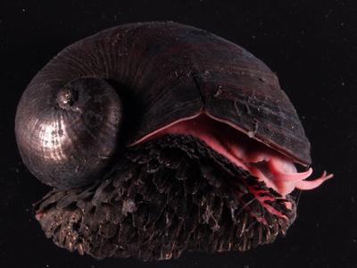 Este caracol tiene un blindaje metálico y se levanta con un imán