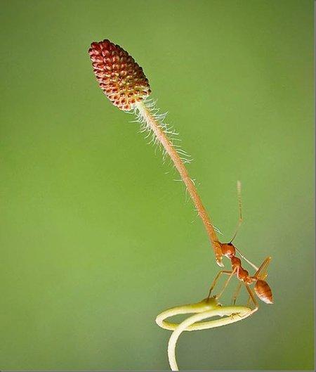 hormiga-atomica.jpg