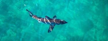 Se descubre que la dieta del tiburón blanco es más extraña de lo que se creía