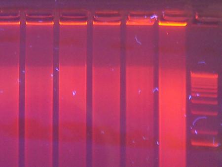 Investigadores chinos agregan gen relacionado con el cerebro humano al genoma de mono en un
