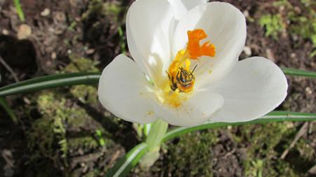 Abeja recolectando néctar