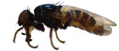 Nuevo insecto ayudará a los forenses a resolver crímenes