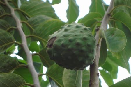 Las hojas de chirimoya tienen efecto antidiabético: IPN