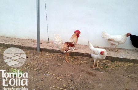 Apadrina una gallina 2