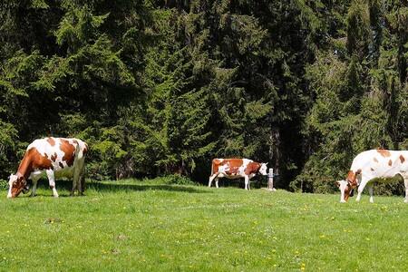 Vacas Suizas Queso Suizo Leche Bienestar Animal