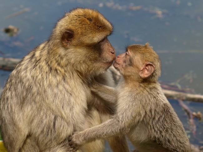 Berber Monkeys 354028 1920