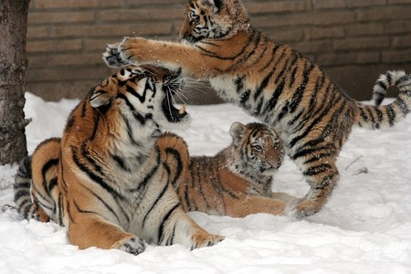 Tigers 1086062 960 720