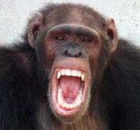 El chillido de los chimpancés