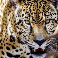 Decapitado y sin garras, así encontraron el cadáver de un jaguar en México, según ANCJ: revela el peligro del mercado negro chino
