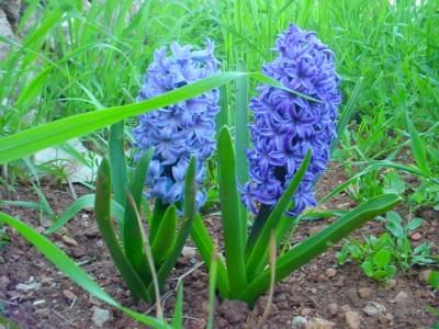Plantas de interior jacintos for Jacinto planta interior