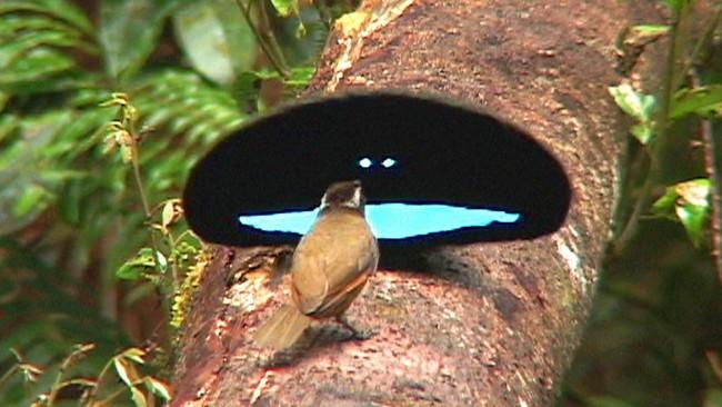 El plumaje de este pájaro es tan negro que te costará enfocarlo con tus ojos