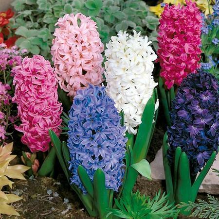 Aprovecha la belleza de los jacintos esta temporada. Decoración con plantas bulbosas