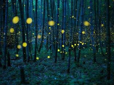 Kei Nomiyama y el espectáculo de las luciérnagas japonesas