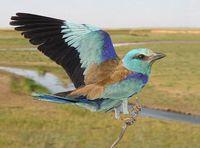 La Carraca ha sido elegida ave del año 2012