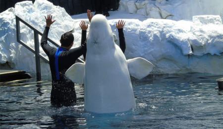 Beluga en un espectáculo