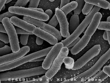 La bacteria E.coli, posible medio para obtener biocombustibles