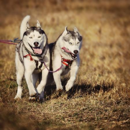 Cómo empezar a practicar canicross (II): la raza y la motivación del perro