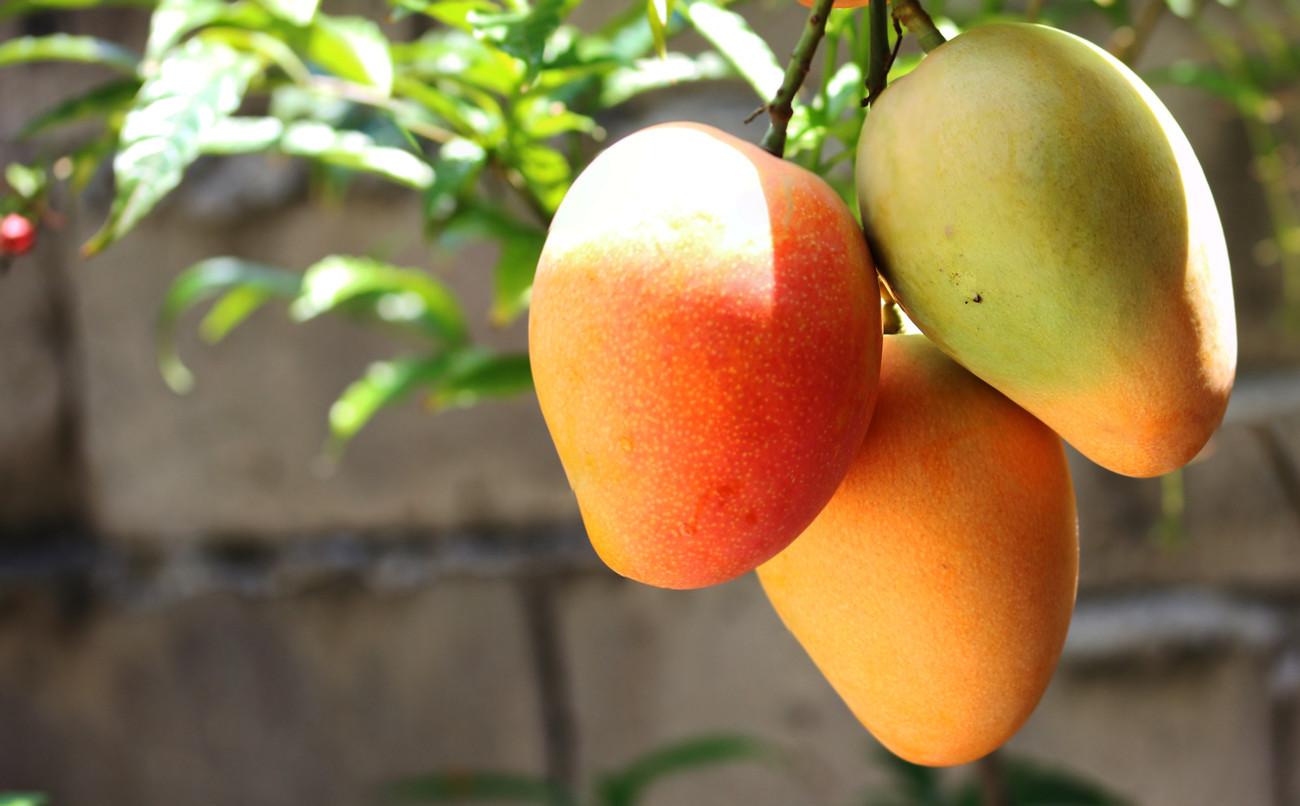 Mango: la fruta que está salvando a buena parte de Venezuela de ...