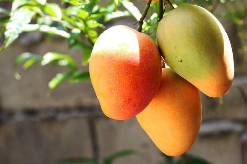 Mango: la fruta que está salvando a buena parte de Venezuela de pasar hambre