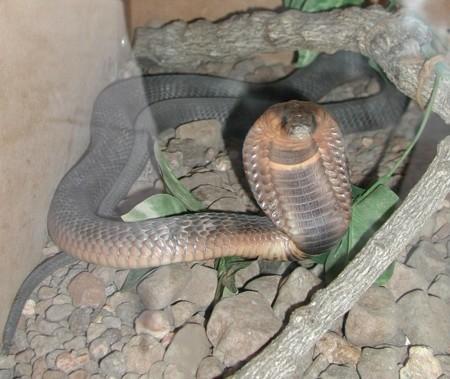 Cobraegipcia