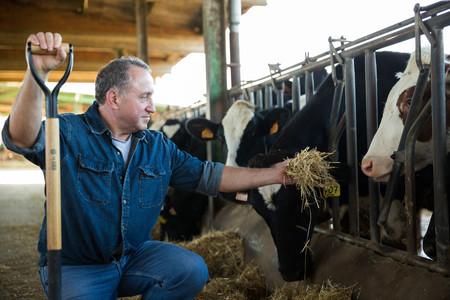 Cantar no hace a las vacas más felices, pero otras cosas sí: qué exigen los certificados de bienestar animal