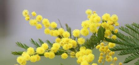 La ruta de la Mimosa por la Costa Azul, un viaje ideal para el invierno