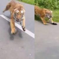 ¡Salvaje! Dos guardas en moto se escapan del ataque de un tigre en India