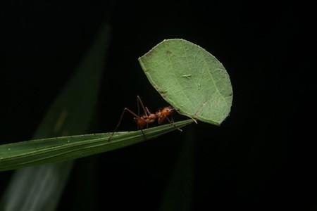 Hay una especie de hormiga que emite tanto óxido nitroso como una depuradora