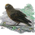 Un metro y siete kilos: el alucinante loro prehistórico, el pájaro demasiado grande para volar