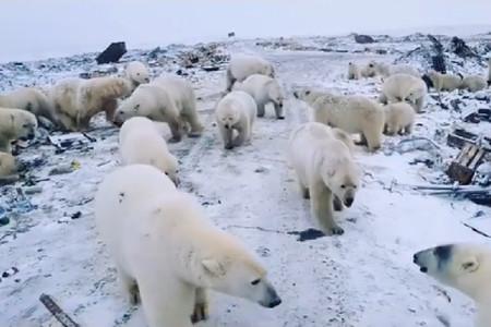 La Rusia ártica está sufriendo una invasión de osos polares. ¿La razón? El cambio climático