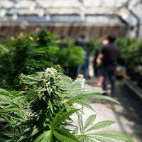 Con 211.000 trabajadores, la marihuana ya es la industria que más está creciendo en Estados Unidos
