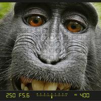 """El famoso macaco del autorretrato sigue sin conseguir que reconozcan sus derechos como autor de """"su foto"""""""