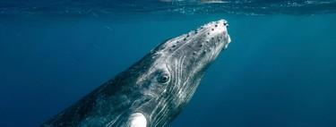 Google AI te propone colaborar en la detección de cantos de ballena entre más de 8.000 horas de grabaciones